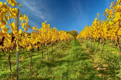 1_O vinicích